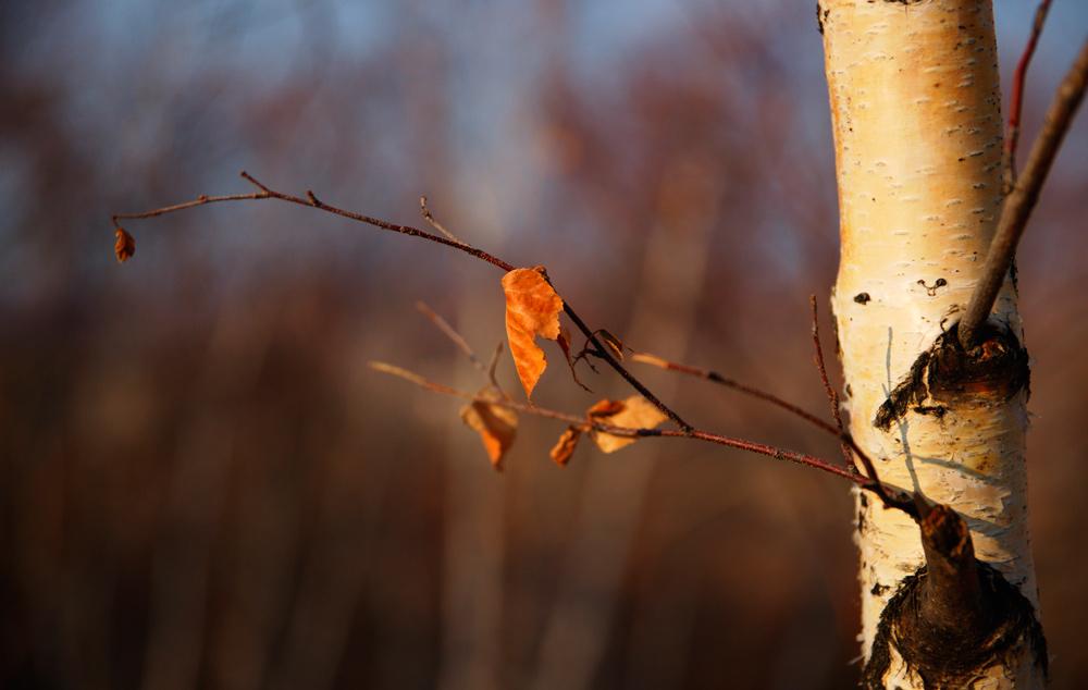坝上草原-白桦林