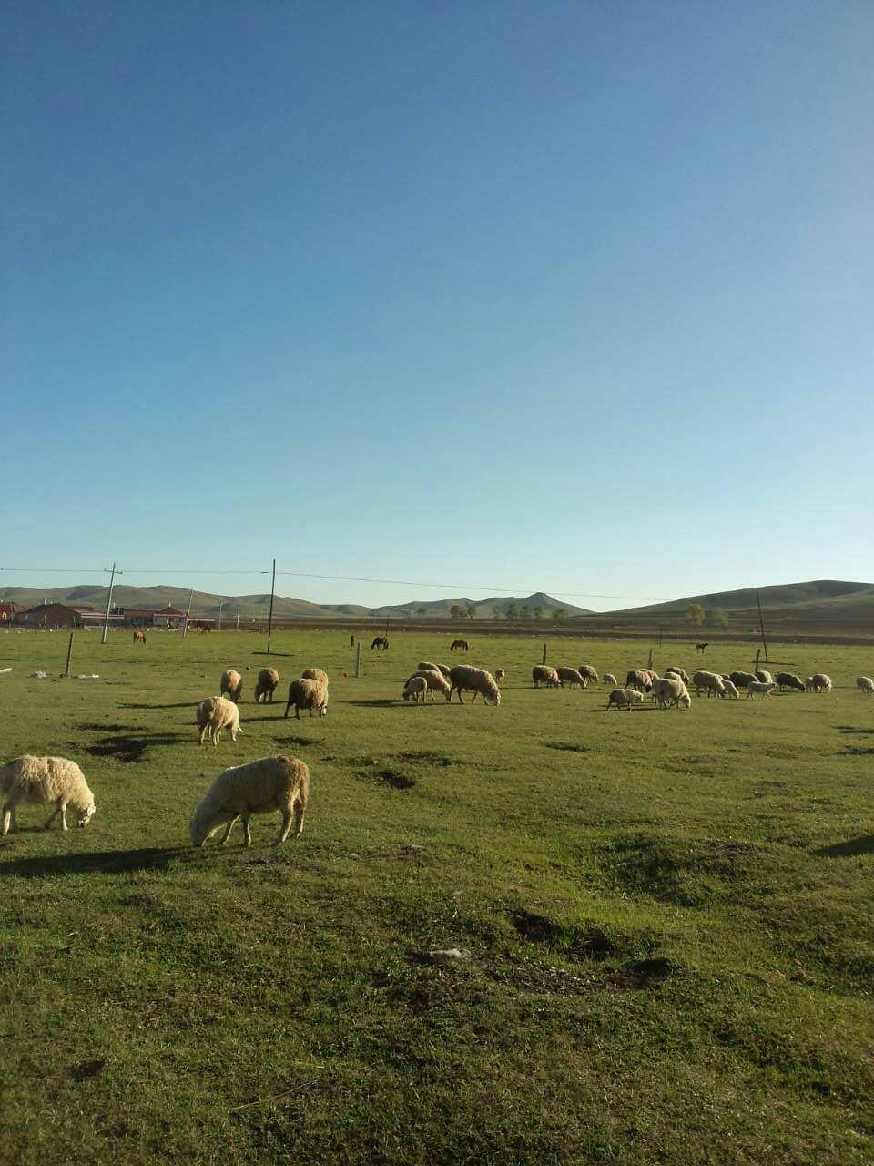 坝上草原—-一小群羊